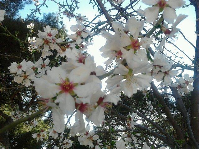 Almendros en flor en la Dehesa de la Villa